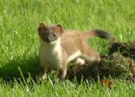 Stoat